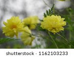 yellow cosmos or cosmos... | Shutterstock . vector #1162103233