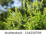 Flowering Ragweed Plant Growin...