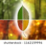 the aging of a cherry tree leaf ...   Shutterstock . vector #1162159996