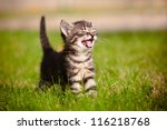 Stock photo adorable meowing tabby kitten outdoors 116218768