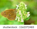 brown butterfly on melissa's...   Shutterstock . vector #1162372483