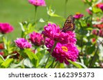 A Monarch Butterfly Feeds On...