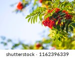 beautiful rowan bush with ripe... | Shutterstock . vector #1162396339