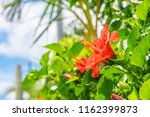 hibiscus which bloomed in...   Shutterstock . vector #1162399873