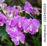 close up purple orchid in the... | Shutterstock . vector #1162403323