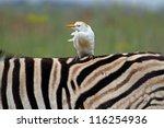 Cattle Egret Sitting On Zebras...