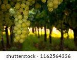 grape plantation in august in...   Shutterstock . vector #1162564336
