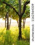 grape plantation in august in...   Shutterstock . vector #1162564339