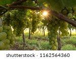 grape plantation in august in...   Shutterstock . vector #1162564360