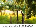 grape plantation in august in...   Shutterstock . vector #1162564363