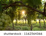 grape plantation in august in...   Shutterstock . vector #1162564366