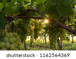 grape plantation in august in...   Shutterstock . vector #1162564369