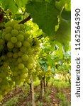 grape plantation in august in...   Shutterstock . vector #1162564390