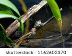 lizard on a branch | Shutterstock . vector #1162602370