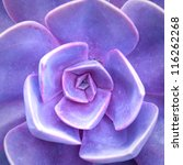 Purple Succulent   Cactus Flower