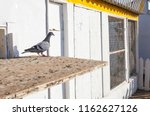 Small photo of Homing pigeons out of their loft. Near spanish-portuguese border, Portugal