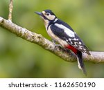 great spotted woodpecker ...   Shutterstock . vector #1162650190