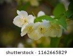 apple flowers closeup | Shutterstock . vector #1162665829