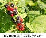ripe  delicious wild black... | Shutterstock . vector #1162744159