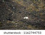 polar bears on franz joseph...   Shutterstock . vector #1162744753