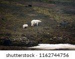 polar bears on franz joseph...   Shutterstock . vector #1162744756