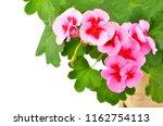 balmy geranium flower  isolated ... | Shutterstock . vector #1162754113