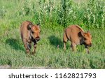 Two Bison Calves At Riding...