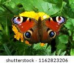 European Peacock Butterfly In...