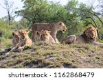lion family coming from kruger... | Shutterstock . vector #1162868479