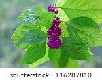 Small photo of American Beautyberry (Callicarpa americana) in Caddo Lake State Park in East Texas near Louisiana border.