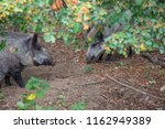Small photo of Wild boar covert in the forest
