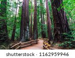 california redwoods  muir woods ... | Shutterstock . vector #1162959946