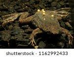Info  Sabana Surinam Toad  Pip...