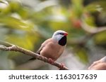 shafttail finch poephila... | Shutterstock . vector #1163017639