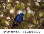 red legged honeycreeper... | Shutterstock . vector #1163018179