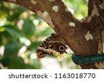Owl Butterfly Caligo Eurilochu...