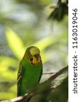 green and yellow budgie bird... | Shutterstock . vector #1163019046