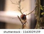 spice finch bird lonchura... | Shutterstock . vector #1163029159