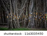 the trunk of many trees that... | Shutterstock . vector #1163035450