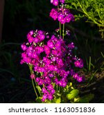dainty small two lipped blooms... | Shutterstock . vector #1163051836