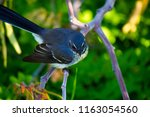 dainty agile little grey... | Shutterstock . vector #1163054560