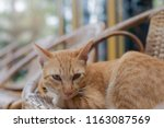 thai cat sitting at home... | Shutterstock . vector #1163087569