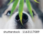 husky dog sniffing a leaf of... | Shutterstock . vector #1163117089