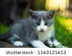 Stock photo portrait of a little kitten outdoor little kitten outdoor kitten playing outdoor in green grass 1163121613