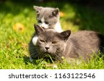 Stock photo family of cats outdoor cat with the baby kitten on grass cat hugs kitten cat plays kitten 1163122546