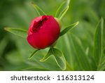Red Peony On A Green Background
