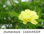 yellow cosmos or cosmos... | Shutterstock . vector #1163145229