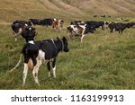 herd of cows on a meadow. | Shutterstock . vector #1163199913