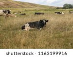 herd of cows on a meadow. | Shutterstock . vector #1163199916