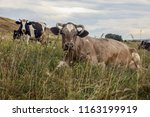herd of cows on a meadow. | Shutterstock . vector #1163199919